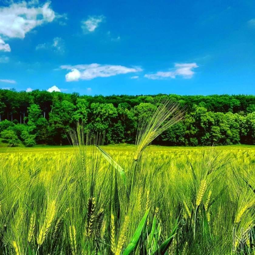 Getreidefeld am Waldrand bei blauem Himmel